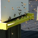 Field Bees At the Hive Entrance